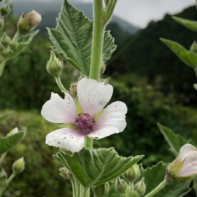マシューマローの花