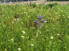 4月カモミールが咲き始めました