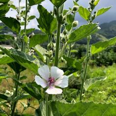 マシューマローのかわいい花