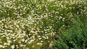 カモミールジャーマンの花摘み体験しませんか?