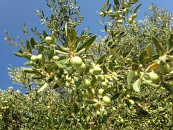 Le olive moresca