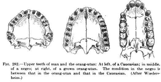 "Image from Jordan's Textbook showing three skeletal jaws of different sizes. The caption of the image reads: ""Upper teeth of man and orang-utan: At left, of a Caucasian, at right, of a grown orang-utan. The condition in the negro is between that in the orang-utan and that in the Caucasian. (After Wiedersheim)"""
