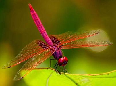 Odonate Dragonfly
