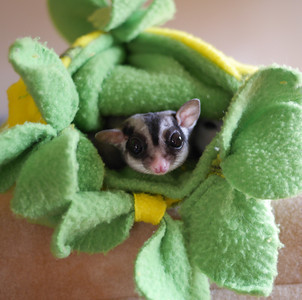 My first pet sit for Sugar Gliders!
