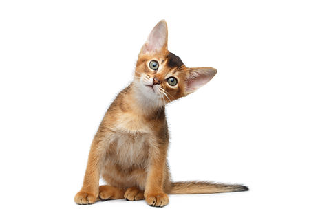 Funny Abyssinian Kitty Sitting, turned h