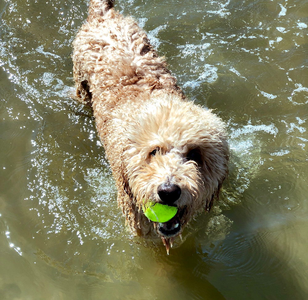 Is saltwater bad for your doodle?