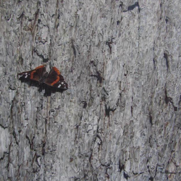 Sunbathing: Red Admiral Butterfly on Oak by Katherine Thunherst
