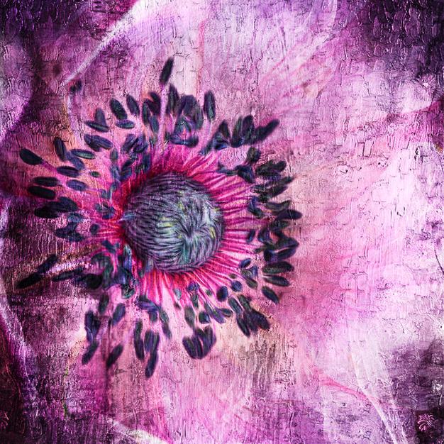 Poppy Anemone by Gail Scott