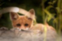 little-fox-2093053.jpg