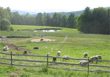Sheep grazing in small field.jpg