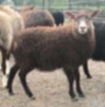 2019-18G ewe lamb3.jpg