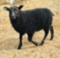 2019-22G ram lamb.jpg