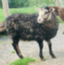 2019-23G ram lamb2.jpg