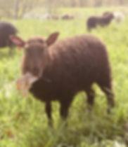 2019-21G ewe lamb.jpg