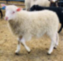 2019-25G ram lamb2.jpg