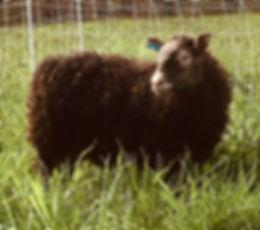 2019-1G ram lamb3.jpg