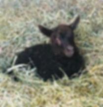 2019-27G ewe lamb.jpg