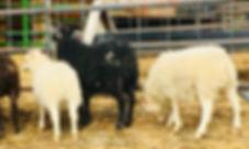 2019-8,9,10 triplet ewes.jpg
