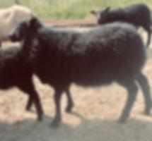 2019-3G ram lamb.jpg