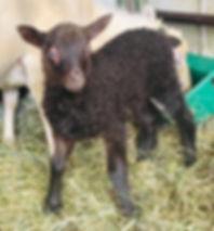 2019-27G2 Lamb.jpg