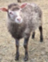 2019-4G ewe lamb.jpg