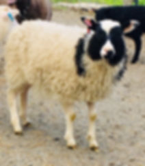 2019-6G ewe lamb.jpg