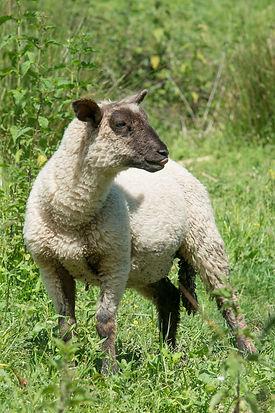 agneau.jpg