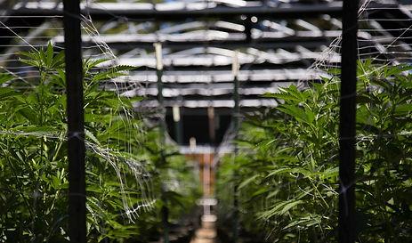 cannabis-cultivation-compliance.jpg