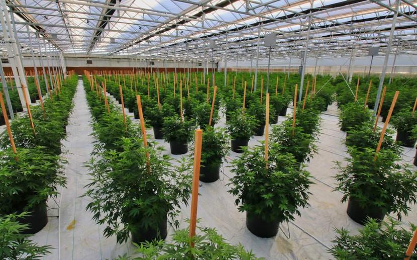 Cannabis nursery in Colorado USA - Chris