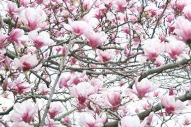 magnoliaimage.jpg