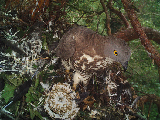 chick predation / kuikenpredatie
