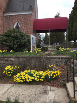 Springtime Daffodils
