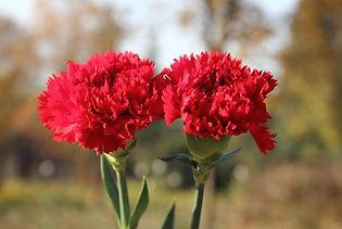 kırmızı-karanfil-650x384.jpg