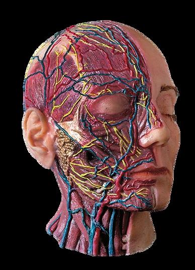 banner_anatomia.imagem-removebg.png