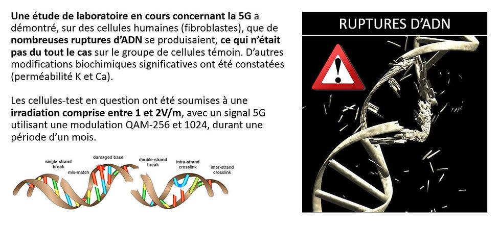 Rupture ADN.JPG