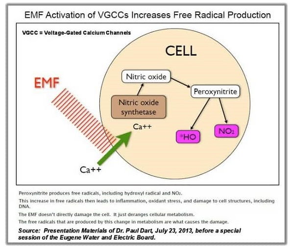 EMF Activation of VGCC.png