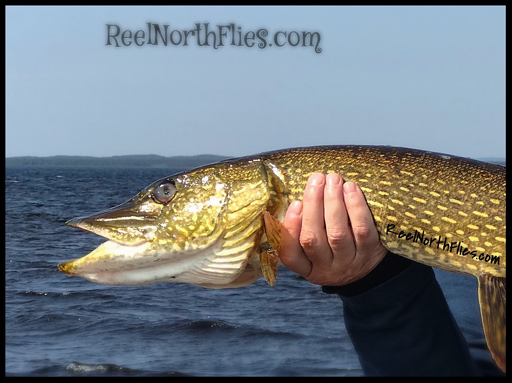 Holding pike by the eyes, damage