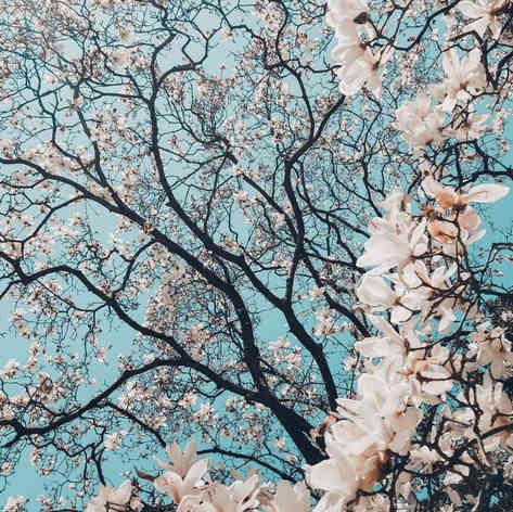 Little kyoto Cherry Blossom