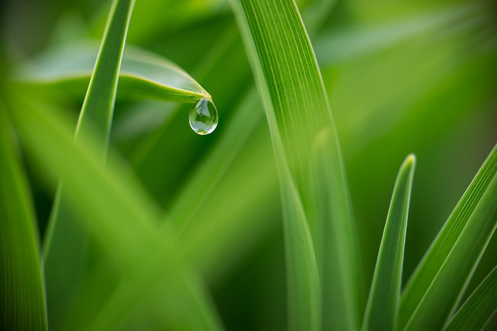 Grass with water droplet.jpg