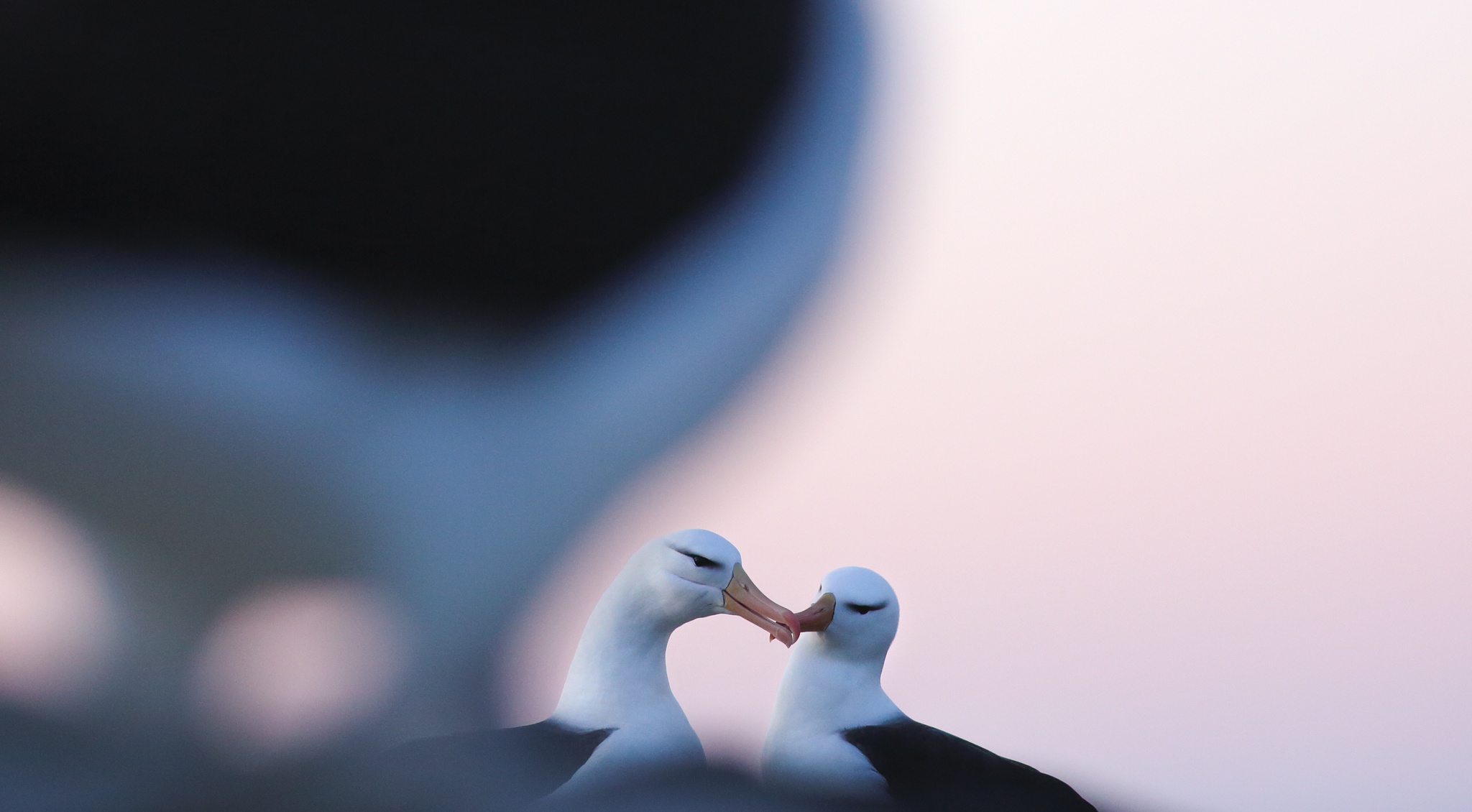 Black-browed albatross at dusk