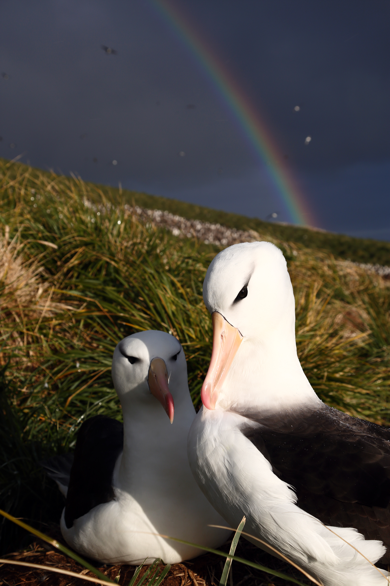 Albatross & Rainbow
