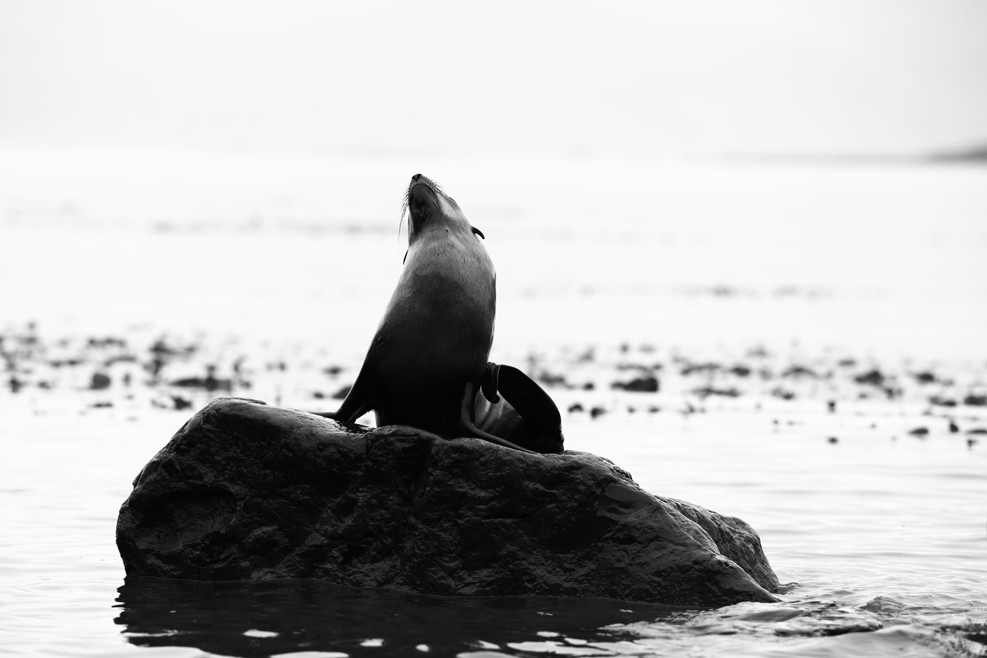 Fur Seal B&W