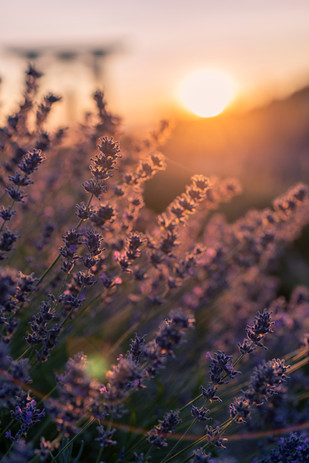 Lavender Sunset-01691.jpg