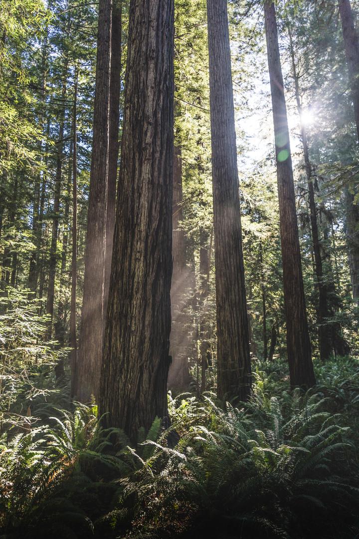 Redwoods Grove 1-07534.jpg