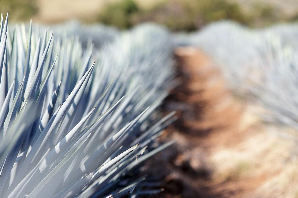 agave nectar sugar