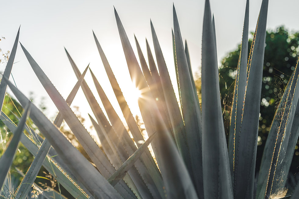 mexican agave