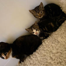 costa kittens
