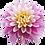 "Thumbnail: Dalia (maceta 7"")"