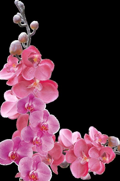 Orquídea Phalaepnosis 2 Vara