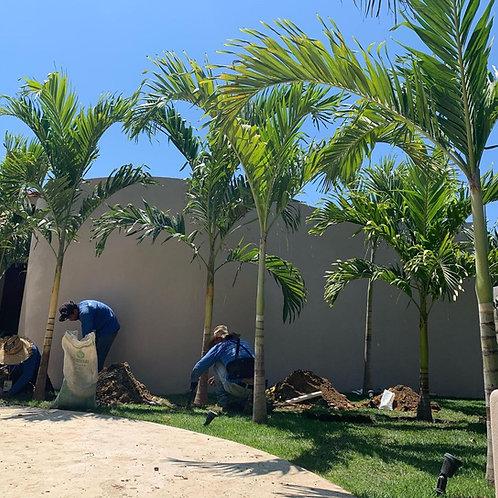 Palma Kerpis (Distintos Tamaños)